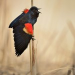 Red-winged blackbird (600mm +TC-14E)