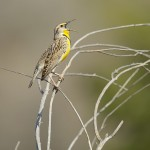 Western Meadowlark (600mm + TC-17EII)