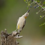 Golden-Fronted Woodpecker, Texas Rio Grande Valley (click to enlarge)