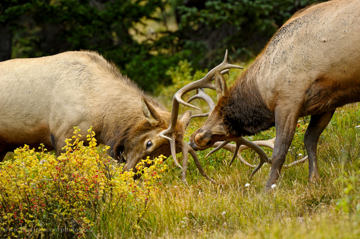 The elk rut will be in full swing during the 2013 Colorado photo safari.