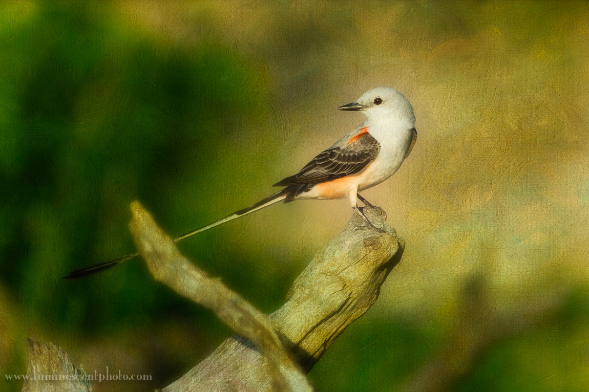 Scissor-tailed flycatcher, south Texas.