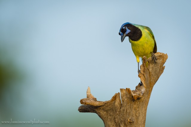 Green jay, south Texas. This species of jay isn't found anywhere else in the USA.
