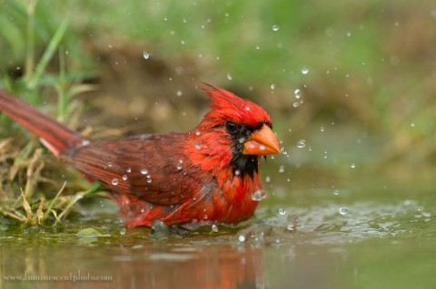 Northern cardinal, south Texas. I was practically at the near focus limit (17 feet) with my Nikon 600mm lens for this shot.