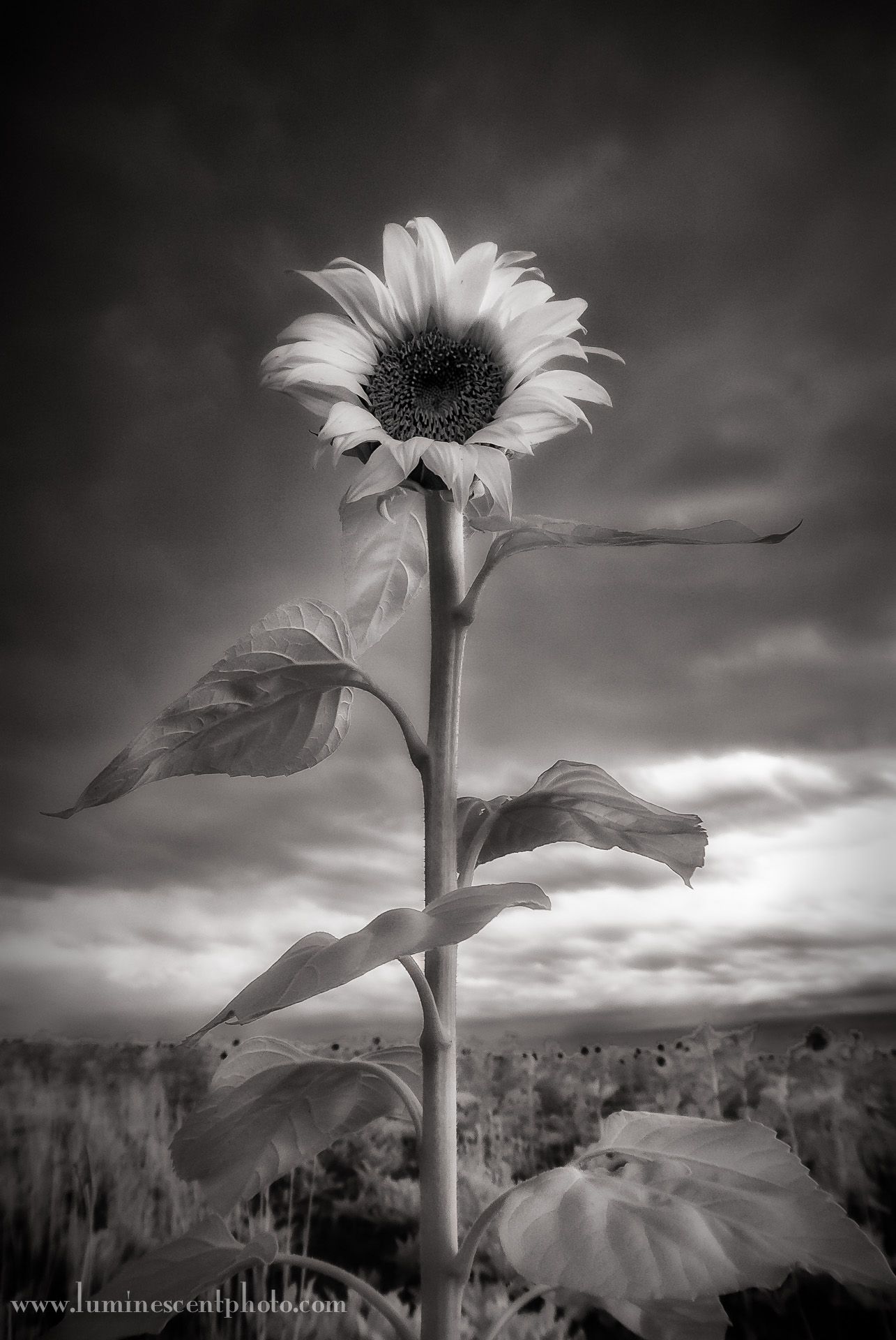 """Standing Tall"" Nikon 1 V1 converted to infrared, 10-30mm 1-Nikkor zoom at 13.1mm."