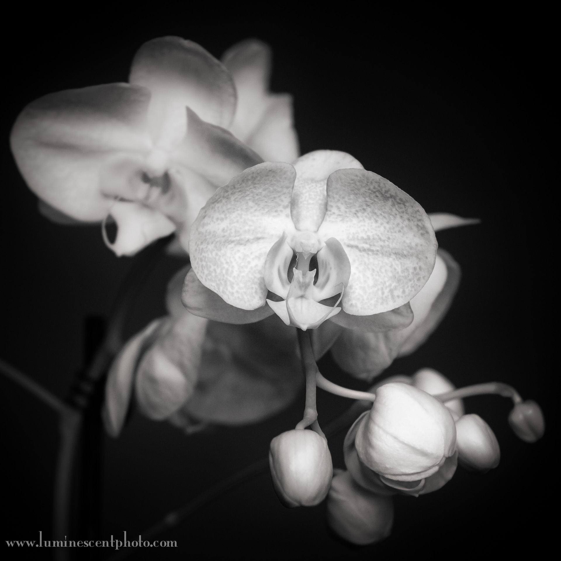 Orchid captured in infrared with a converted Nikon 1 V1 and 32mm f/1.2 1-Nikkor lens.