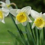 Daffodils on Bainbridge Island