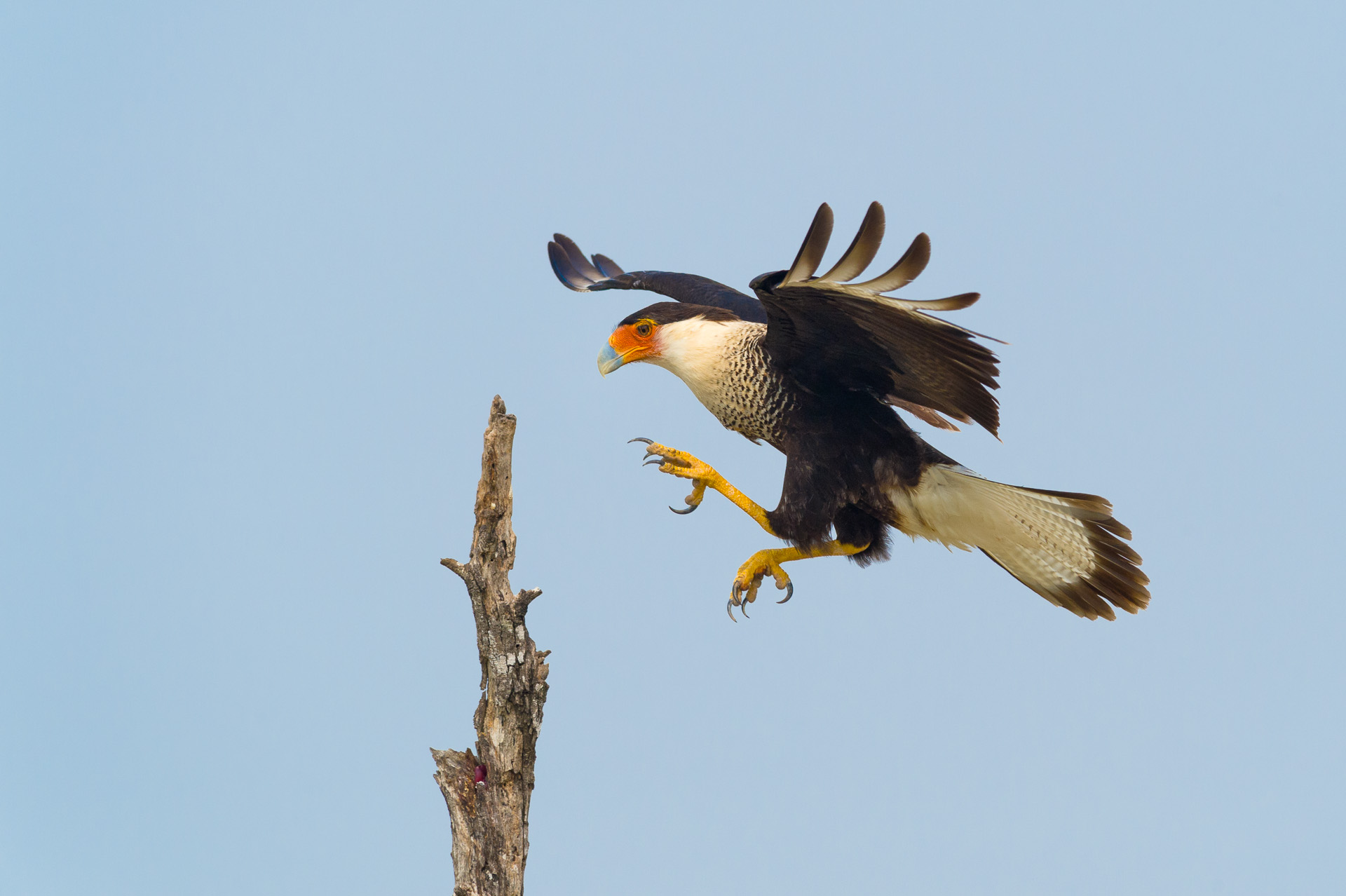 Crested caracara in the Rio Grande Valley, Texas.