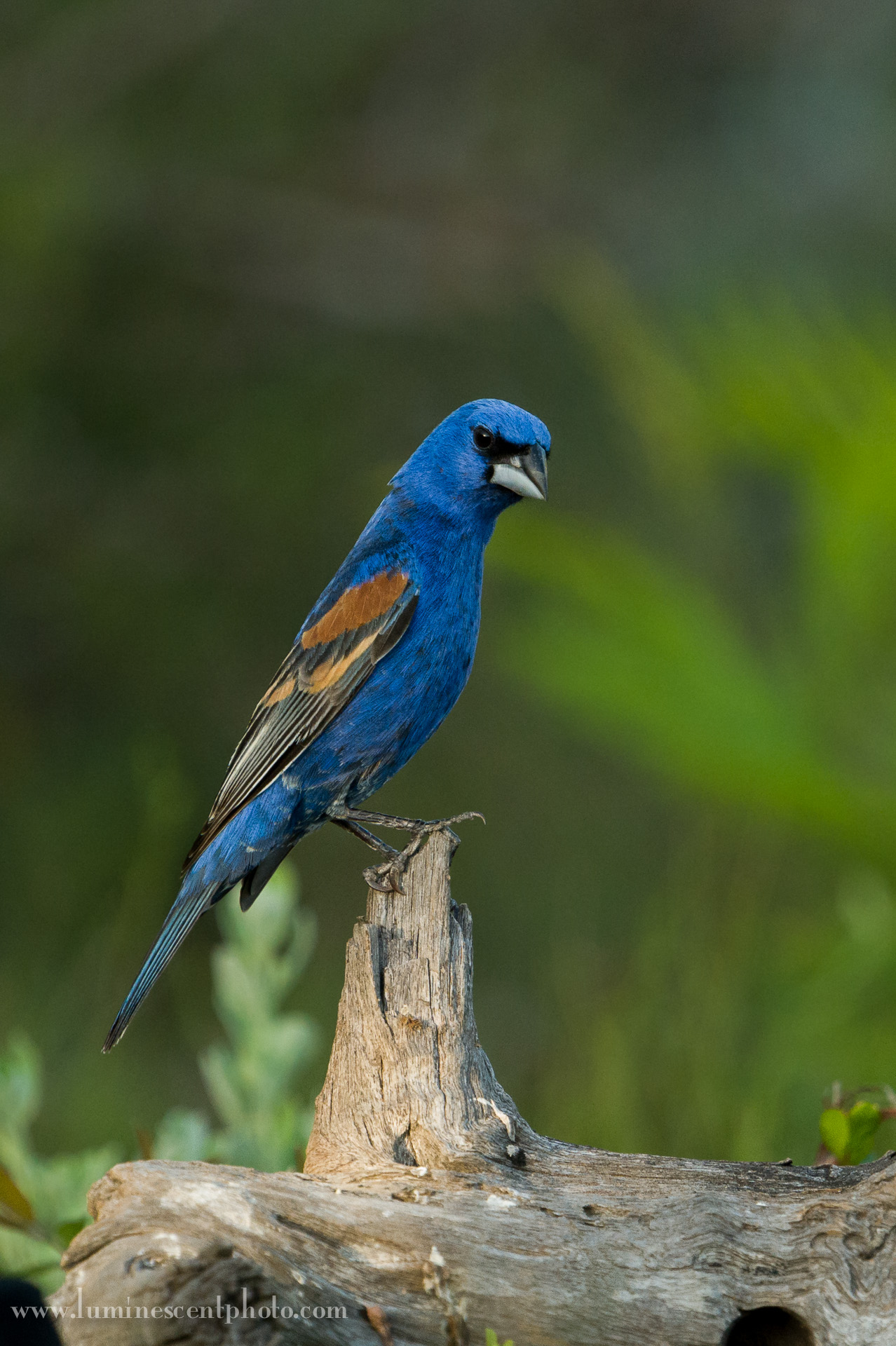 A blue grosbeak perches at Dos Venadas Ranch, Texas.