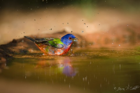 Painted Bunting, South Texas