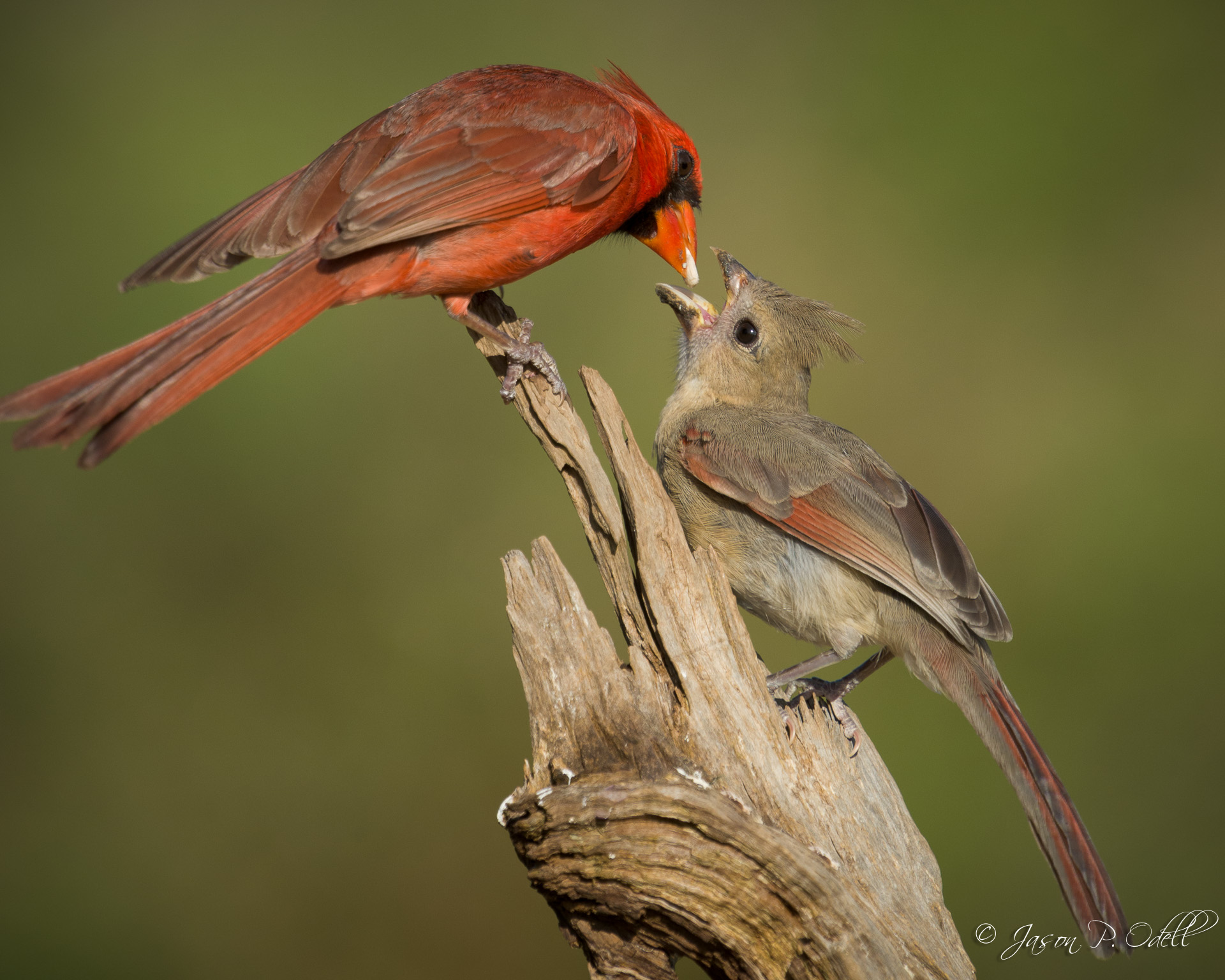 Northern cardinal and fledgling, south Texas