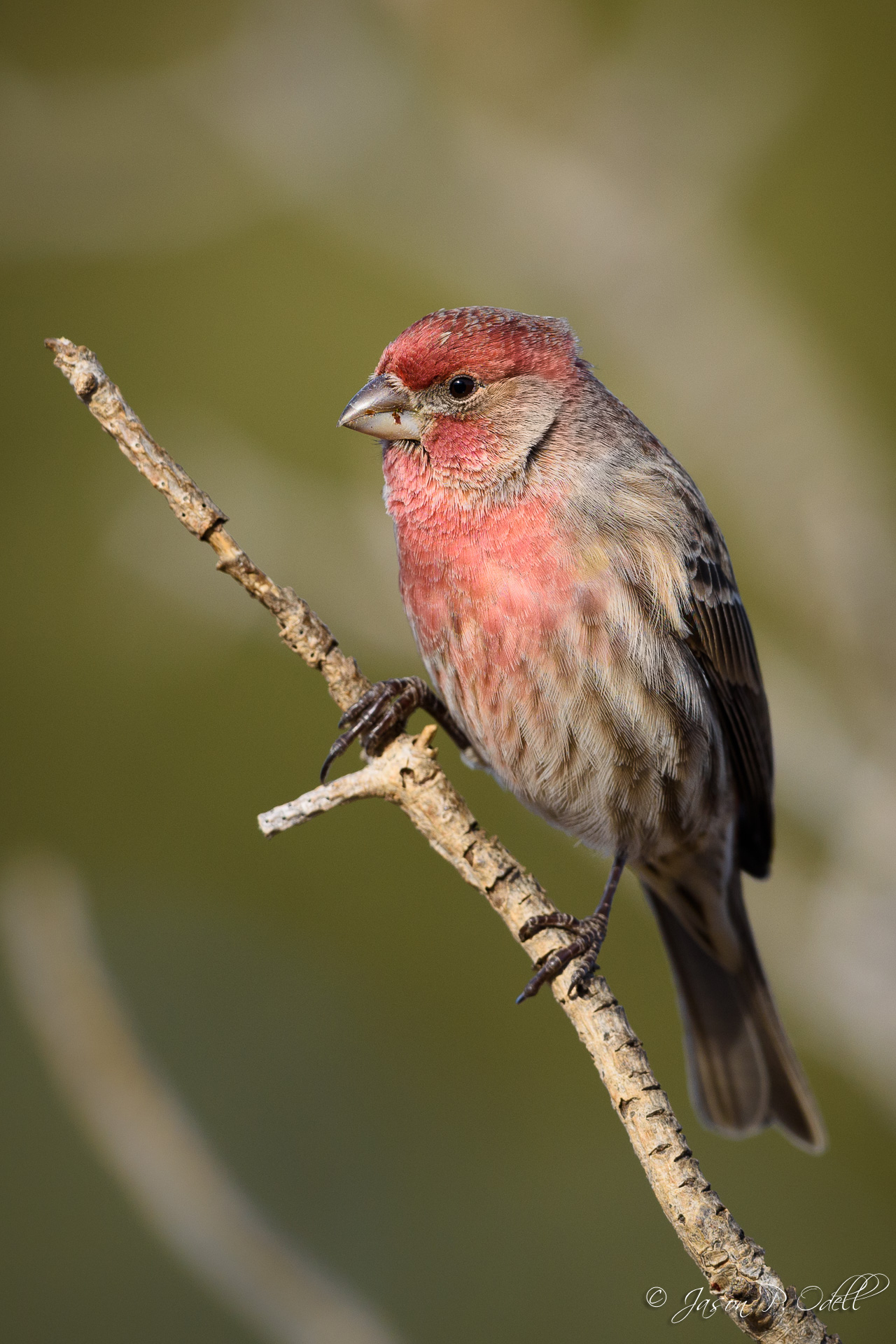 Male house finch, Fountain Colorado. Nikon 500mm f/4 AFS G VR lens and Nikon D810. 1/1600s @ f/4.5, ISO 360.