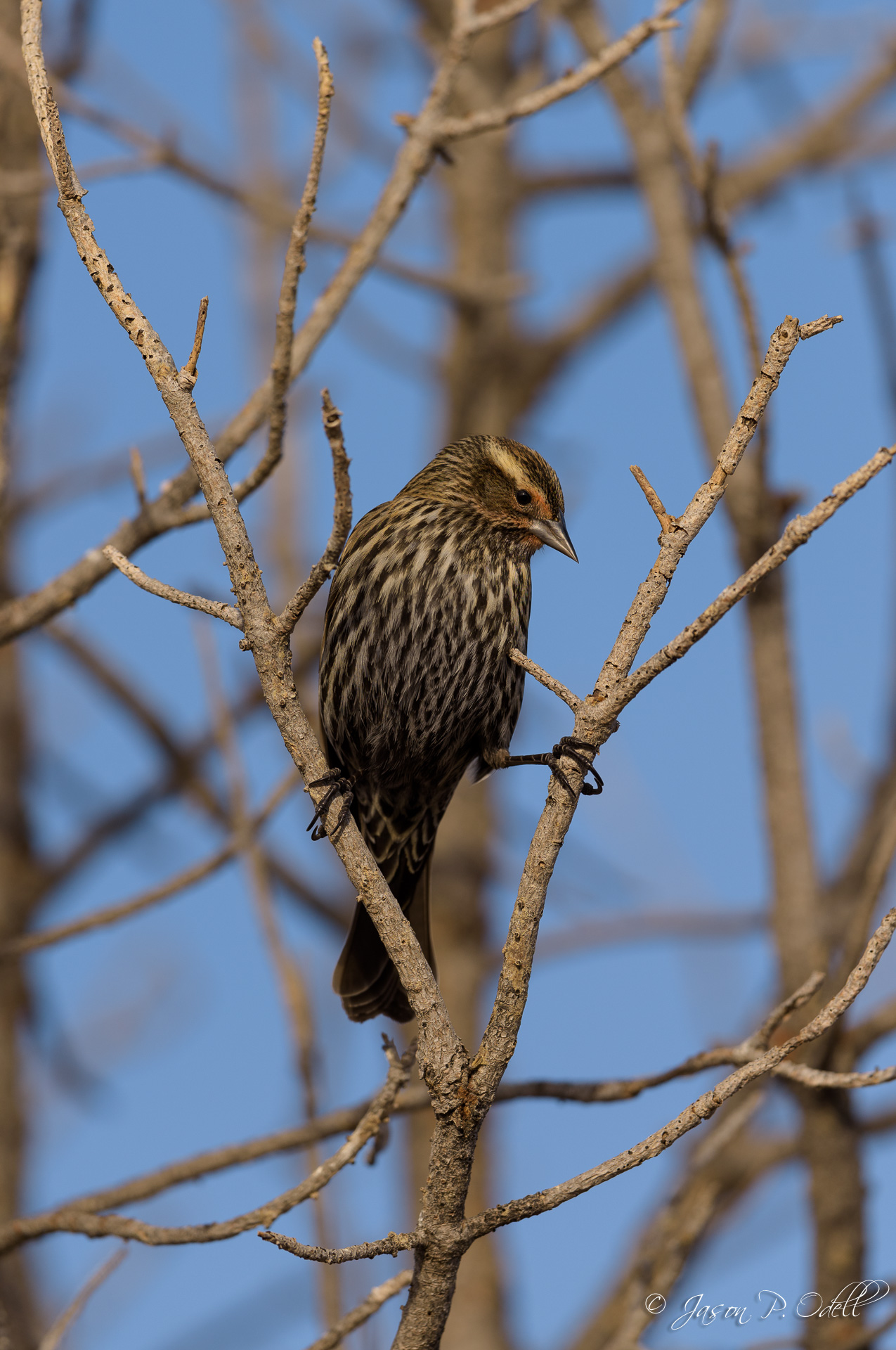 Female red-winged blackbird. Full-frame image, captured with 1.2x crop mode, 1/1600s @f/4.5