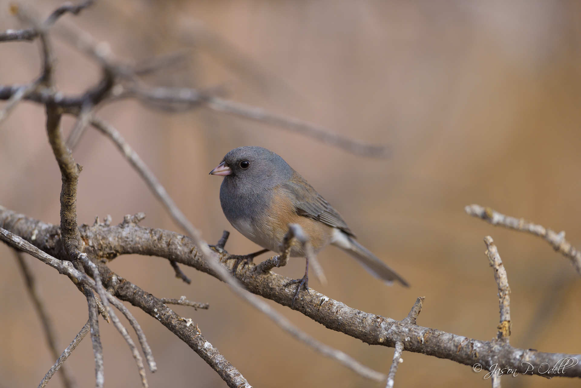 Dark-eyed junco, full frame image in FX crop, 1/1600s @f/4.0.