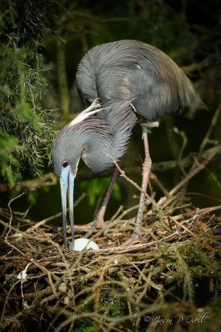 Mother tricolored heron tending her egg, St. Augustine, FL. Captured with a Nikon D810 and 80-400mm AFS G VR lens, hand-held.