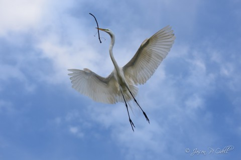 Great egret in flight, St. Augustine, FL