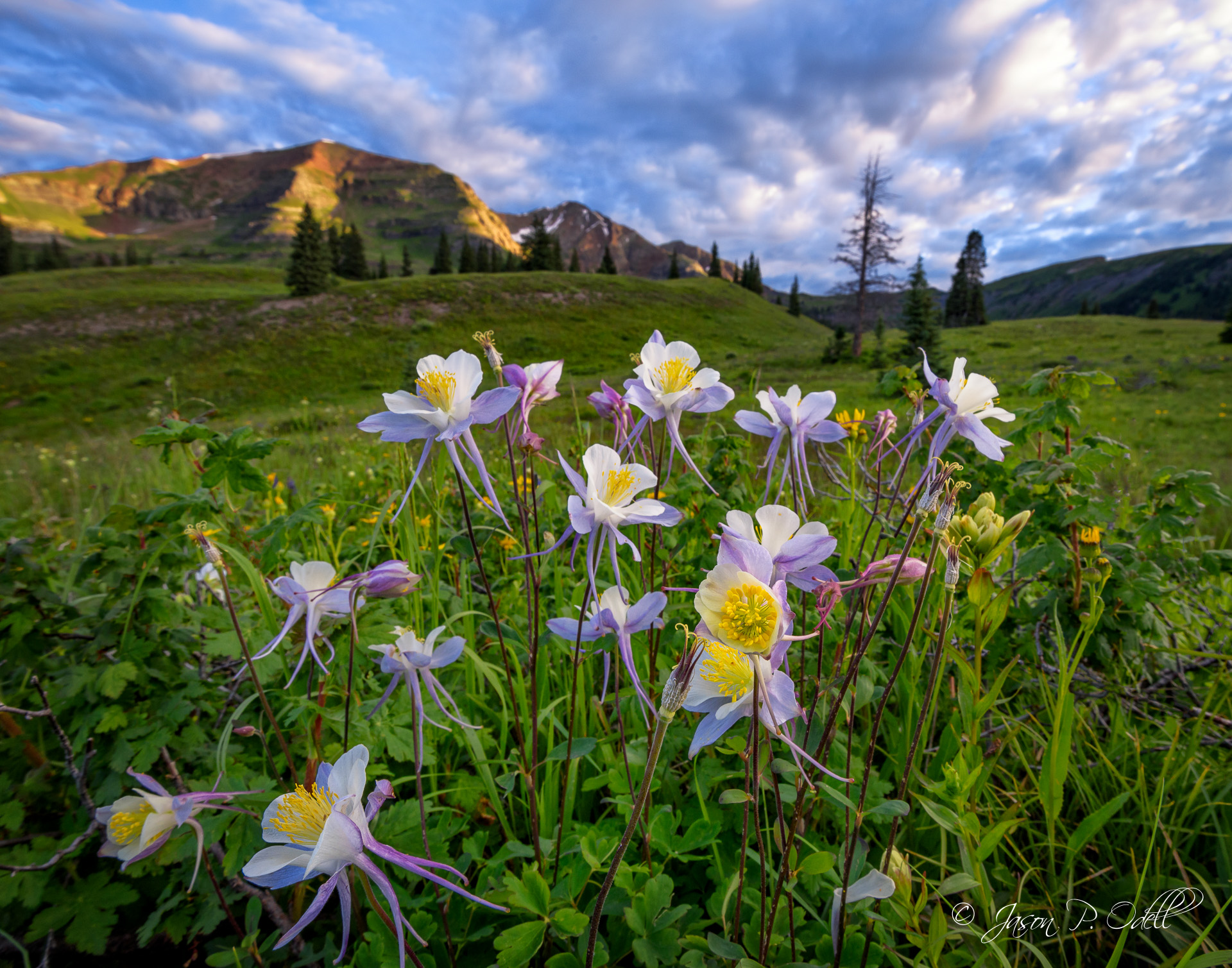 Columbines at sunrise near Crested Butte, Colorado. Join Jason Odell in July 2016 for a chance to photograph wildflowers and learn close-up photography techniques.