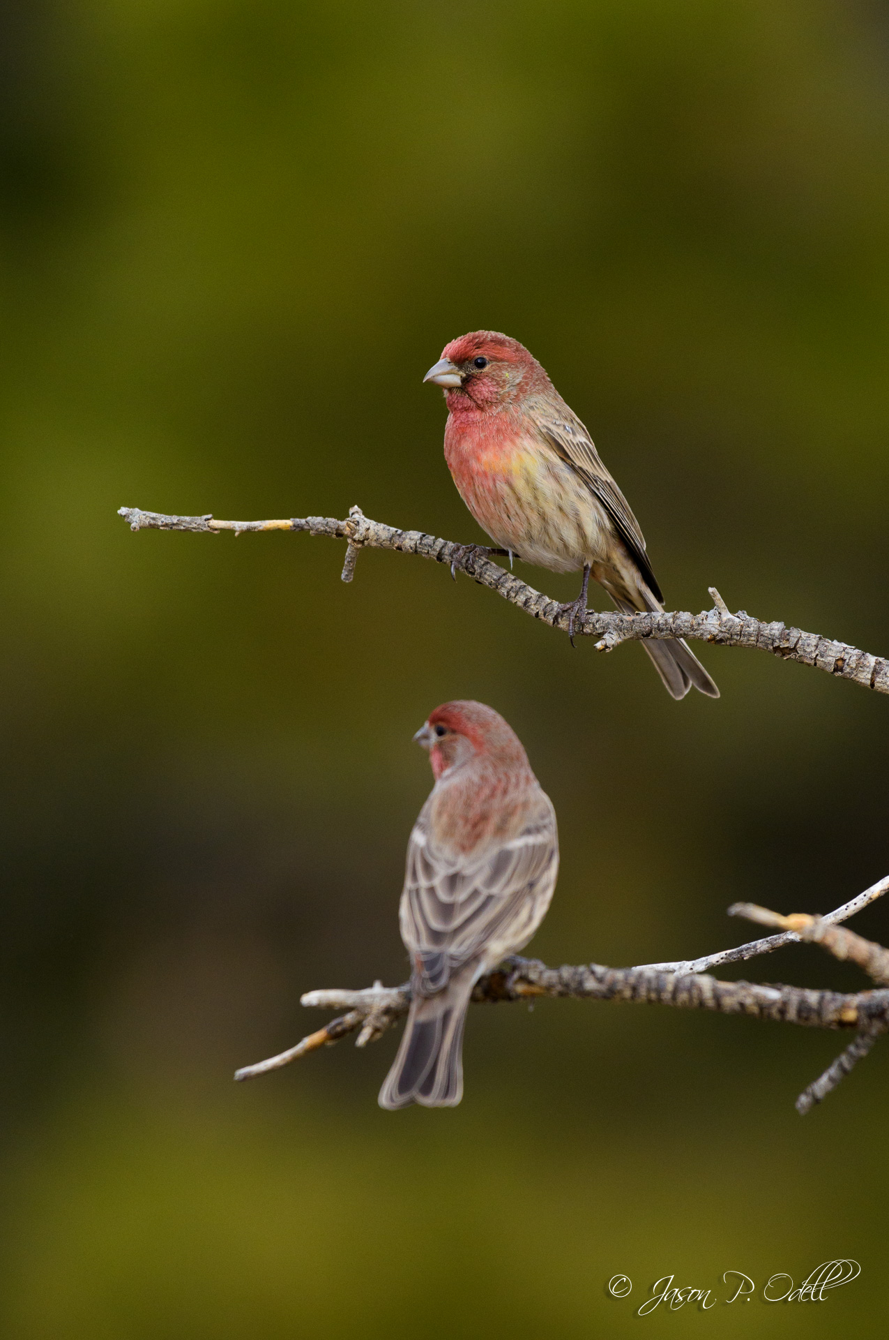 Male house finches from approximately 30 feet away