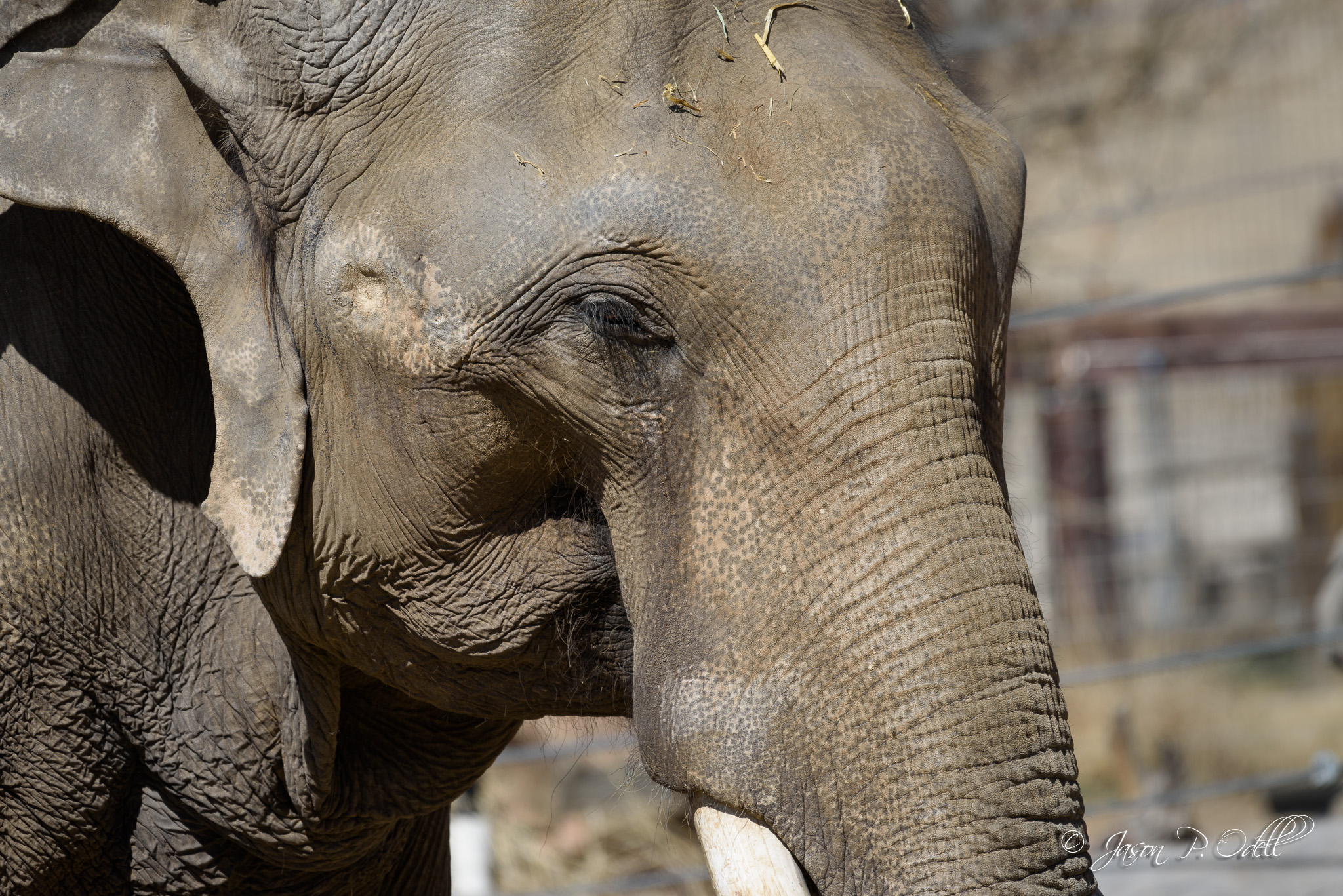 Asian elephant at the Denver Zoo. Nikon D810, 200-500mm VR lens. 1/800s f/6.3 ISO 200.