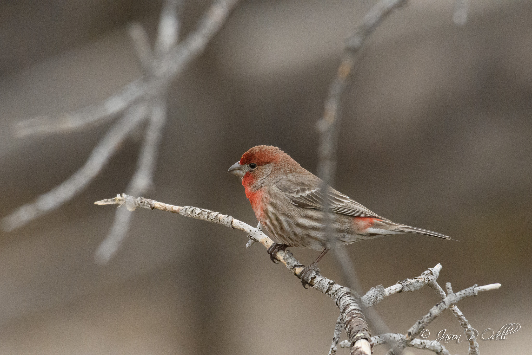 House finch, Fountain, CO Nikon D500 with 200-500mm f/5.6 Nikkor and TC-14EIII using 1.3x crop mode (effective FL: 1400mm) 1/2000s f/11 ISO 5600 (Click to see a larger version)