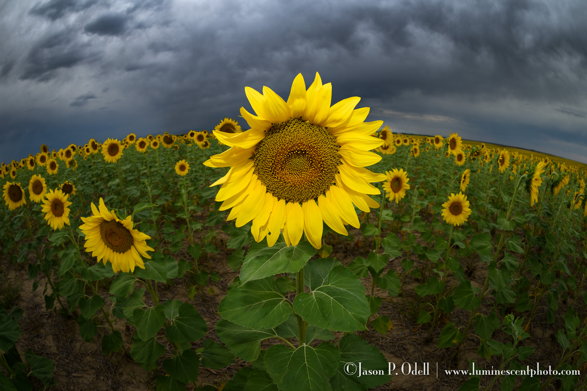 Sunflowers near Denver, Colorado