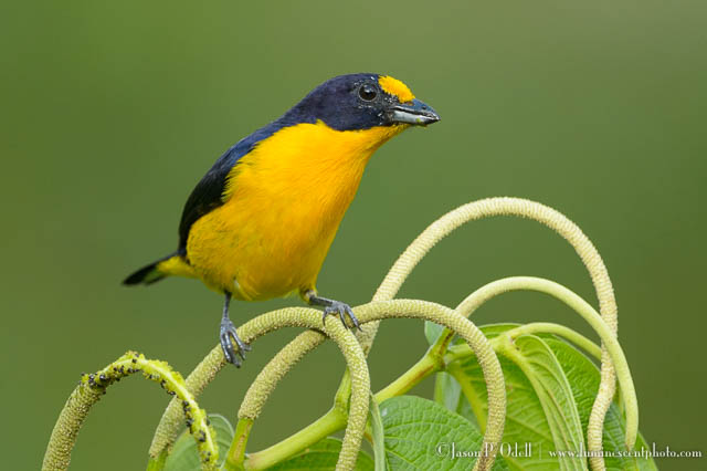 Trinidad birding photo safari