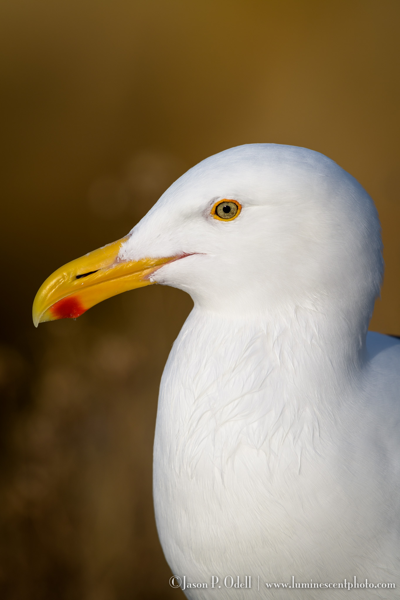 Western gull by Jason P. Odell