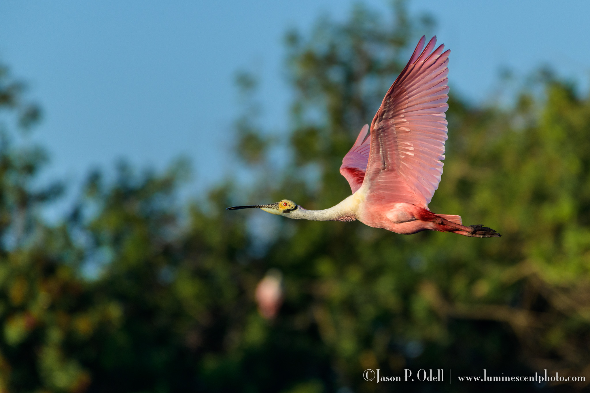 My Go-To Focus Setting For Birds In Flight | Jason P  Odell